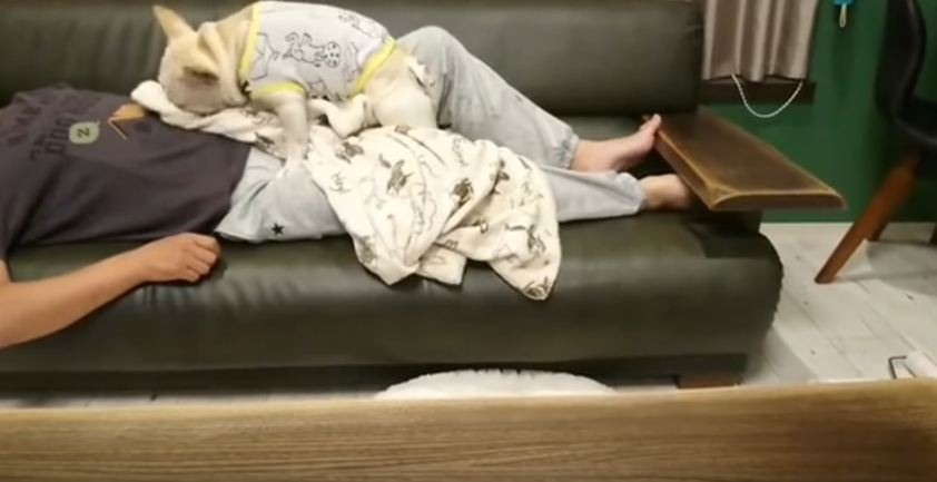 Loving French Bulldog Covers His Sleeping Dad With Blanket