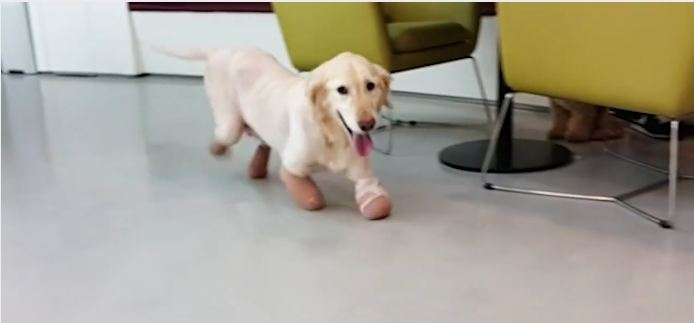 Rescue Dog From South Korea Lost Her Legs, But Not Her Gentle Spirit