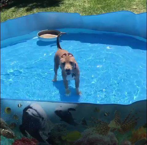 Pibble In A Pool!