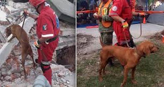 Heroic Search Dog Has Helped Save 26 Victims Of Mexico Earthquake