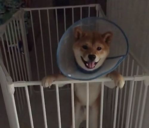 Slow motion shiba inu jumps for joy