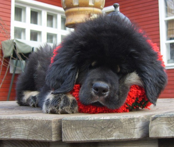 These 17 Massive Puppies Still Have A Lot Of Growing Left To Do