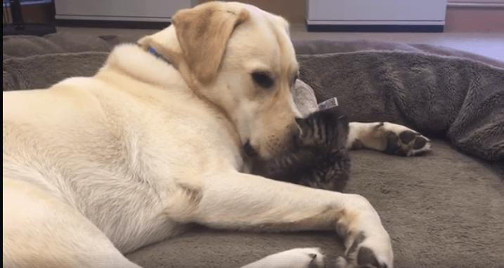 Nurturing dog comforts kitten abandoned in garden