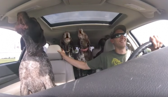 Dad Sets Up Camera To Show The 4 Giant Dogs Going Crazy On The Way To Their Favorite Place