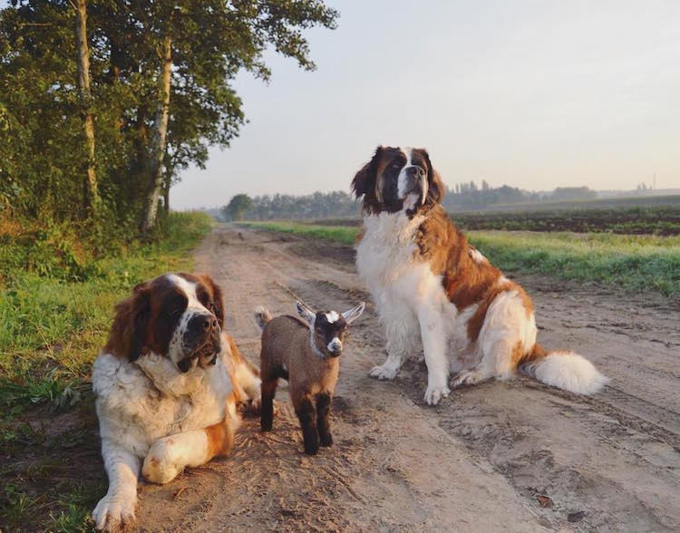 Adorable Goat Grows Up With Two Dogs as Foster Parents