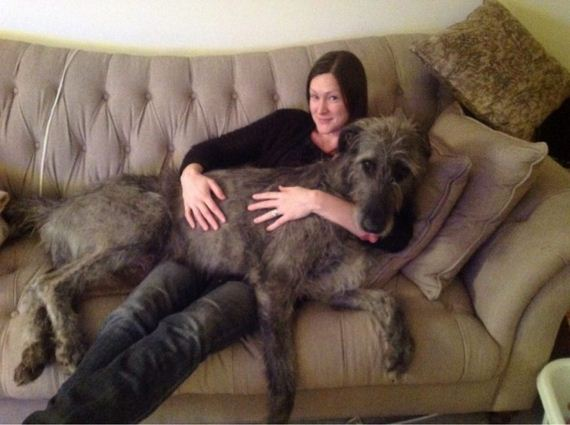 Dogs Who Forgot They're Too Big To Be Lap Dogs