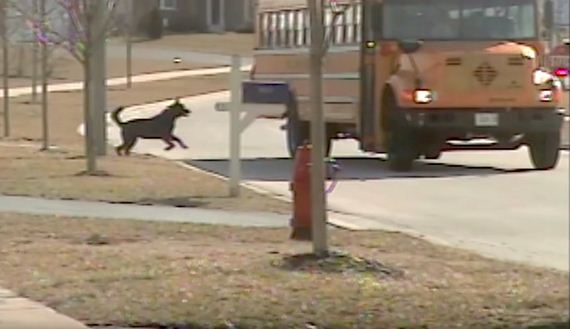 Patient Dog Waits For The Bus Every Day To Help His Human After School