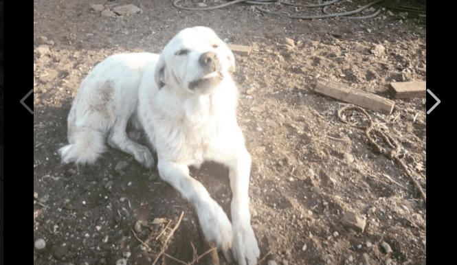 Guardian dog braved fire to protect piglets