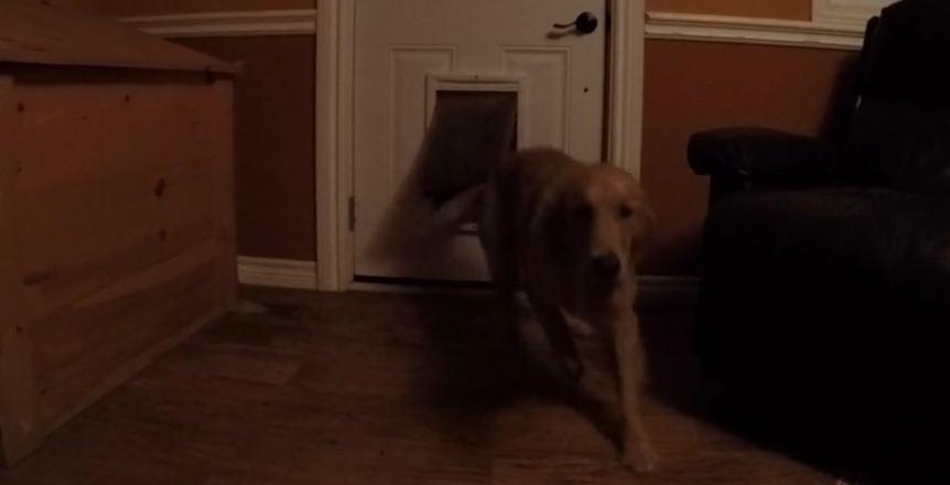 River of excited Golden Retrievers explode through doggy door