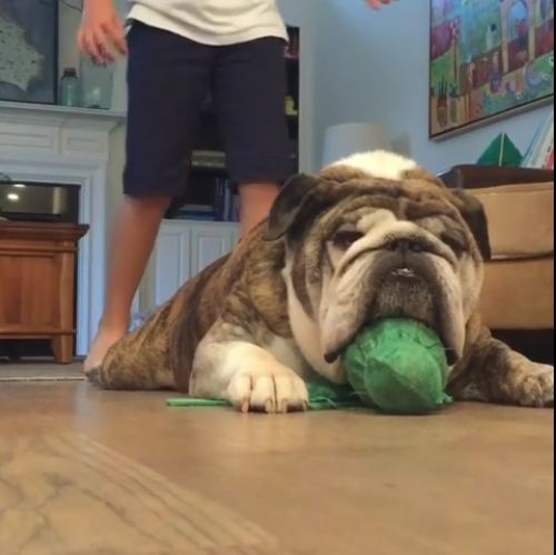Bulldog Reacts Hilariously After Being Scared!