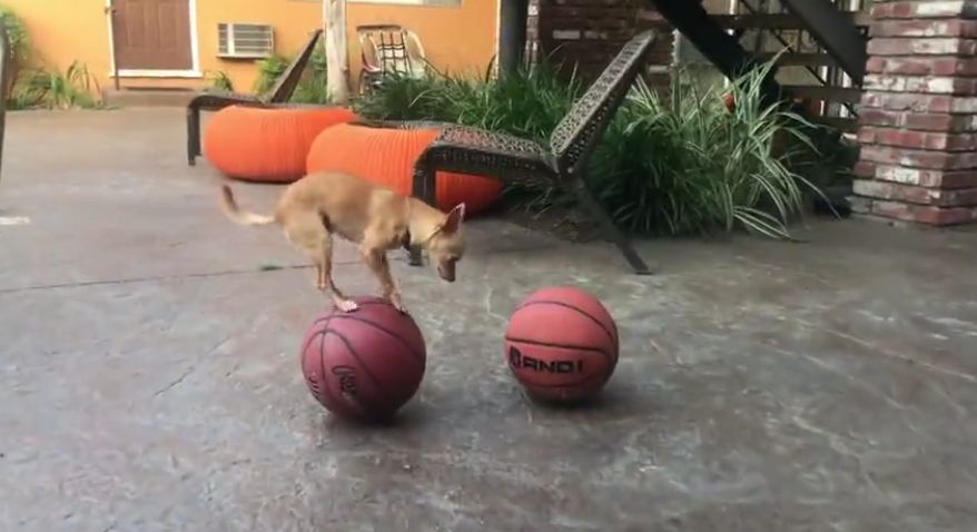 Chihuahua Steals The Spotlight With Crazy Balancing Skills