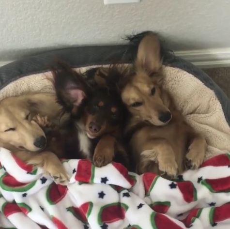 Three's A Crowd (Of Adorable Doxie Floof)