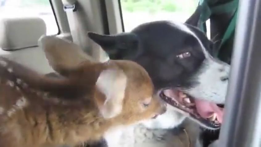 Orphaned Fawn Finds Comfort With Dog Who Scares Bears For A Living