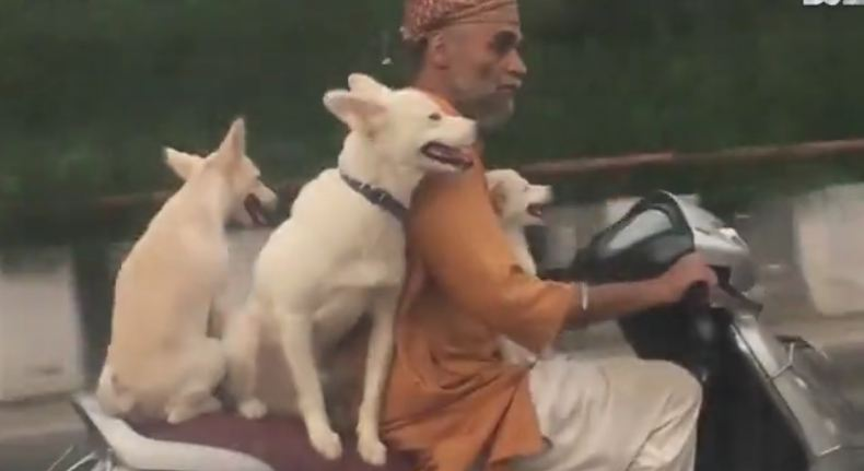 Dogs take a ride on their owner's scooter