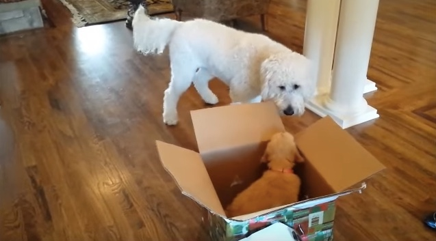It's Rhett Barkley's birthday, and the adorable Goldendoodle is about to get the surprise of a lifetime — a new puppy sibling!