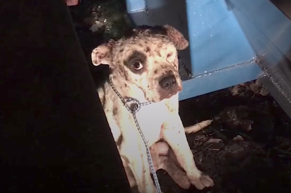 Rescued From Dogfighting, This Pup Smiles For The First Time In His Life