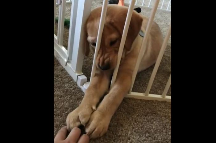 Sassy Lab Puppy Doesn't Like Being Locked Behind Bars