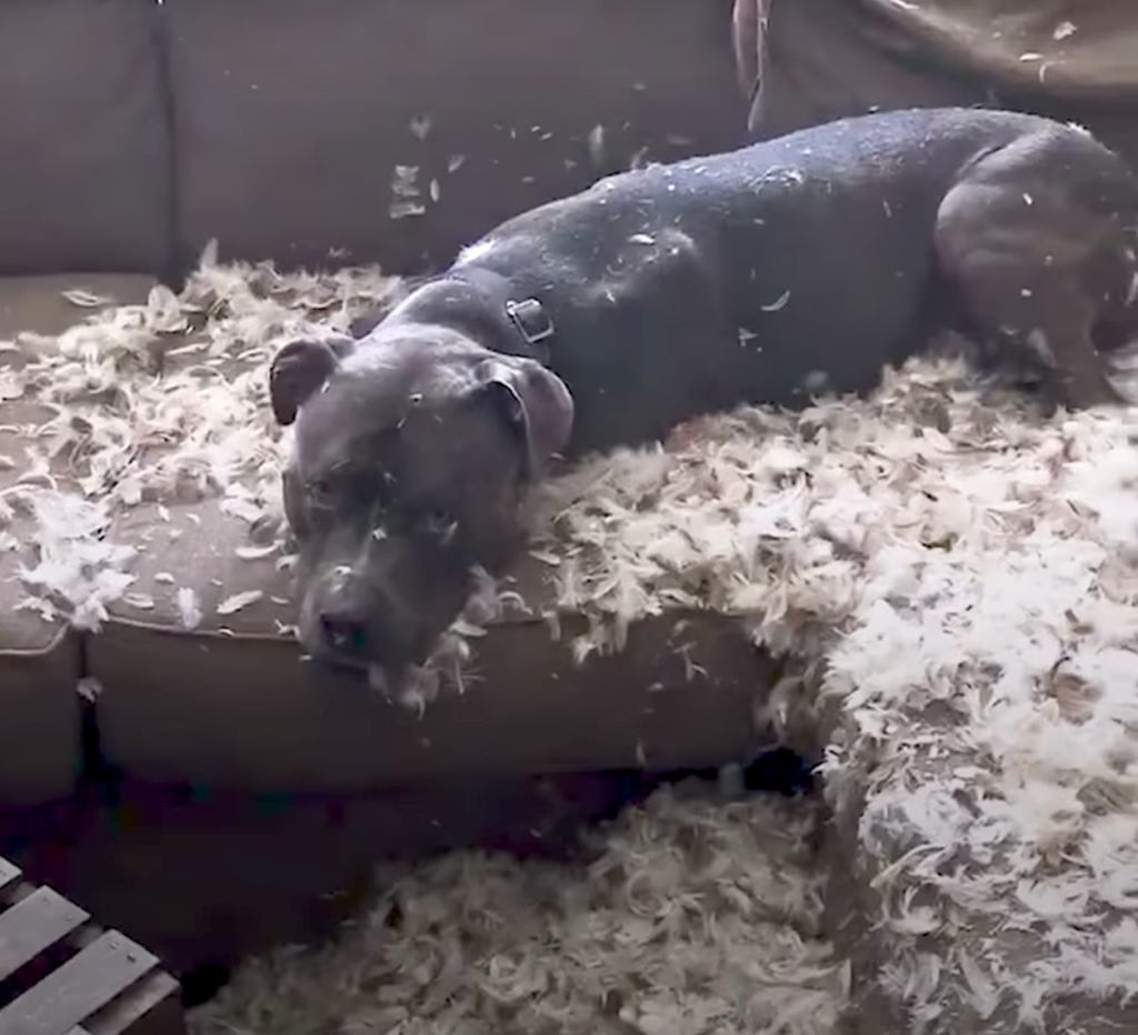 Dog Shreds The Couch, And Mom Can't Help But Laugh Through The Anger