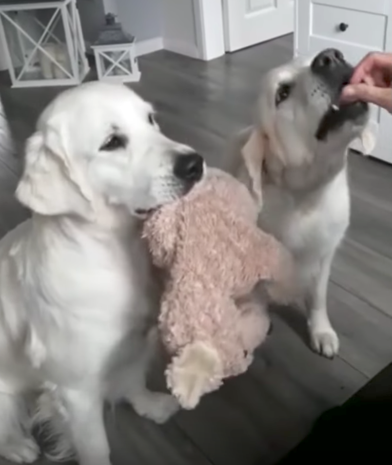 Selfless Dogs Take Turns Holding The Toy So The Other Can Eat Treats