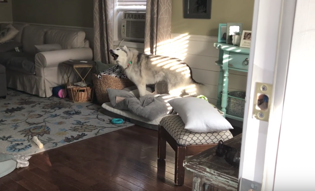 Husky Gets Very Vocal With Mom While Dog Sibling Wonders What The Fuss Is All About
