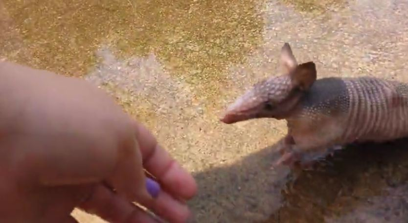 Woman Finds An Orphaned Baby Armadillo In Her Backyard, And Now They're The Best Of Friends