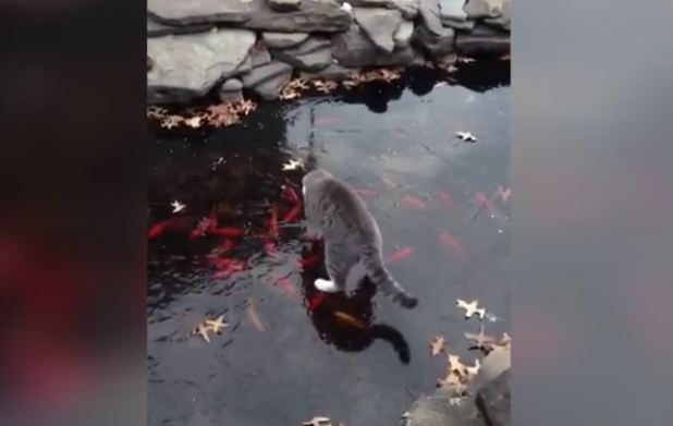 Cute Kitten Plays With Fish Pond