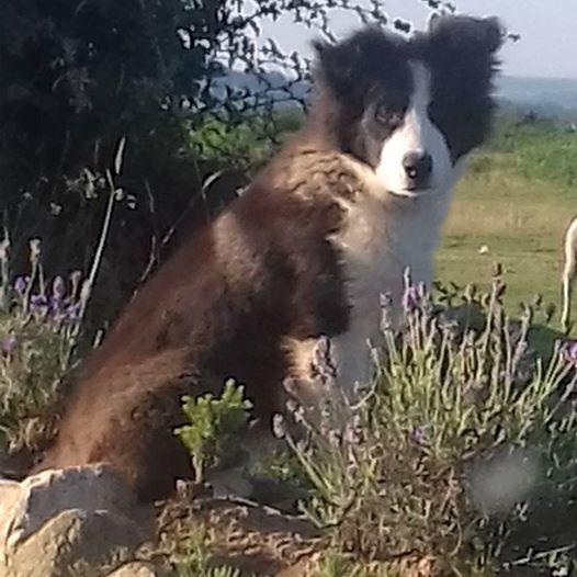 Eager Sheepdog-In-Training Herds Flock Into Owner's Home