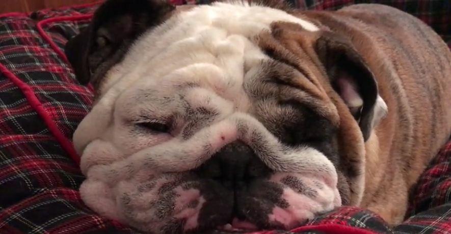 Bulldog falls asleep to owner's guitar lullaby song