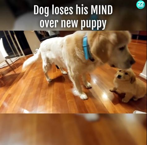 Golden Loves The New Puppy!