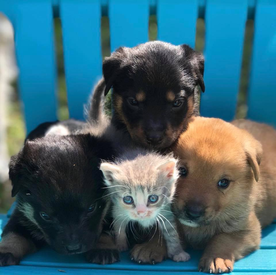 Maternal Rescue Dog Welcomes Kitten Into Her Litter Of Foster Puppies