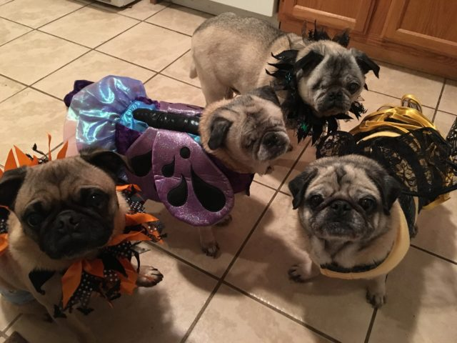 Teacher Adds Blind Rescue Dog To Her Pack Of Special Needs Pugs