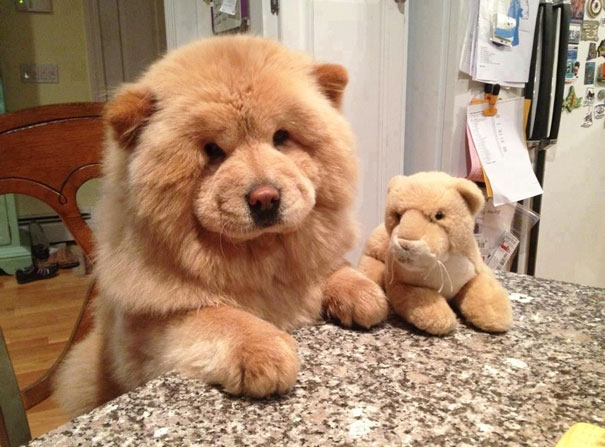 17 Chubster Pups Who Look Exactly Like Teddy Bears