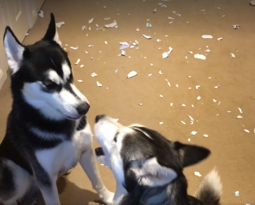 Dad Finds Mess On The Floor – Husky's Hilarious Argument Over Who's Responsible Goes Viral