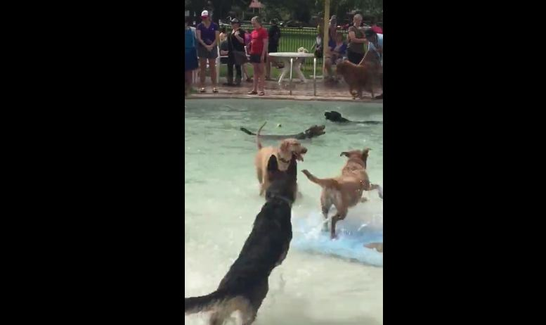 Dog humorously tries to swim at doggy pool party