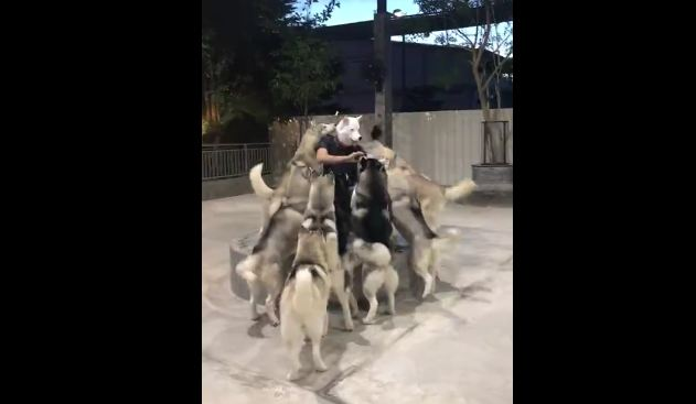 Huskies Go Loco When Their Owner Comes Back With A Husky Mask On