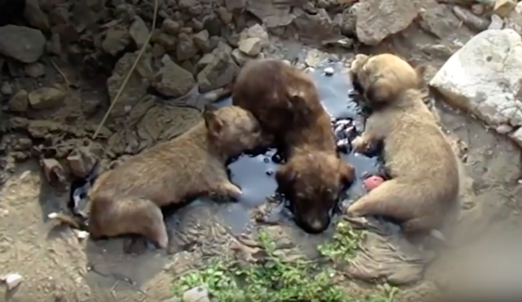 Rescuers Step In To Help Pups Who Were Glued To The Ground In Tar And Unable To Move For Days