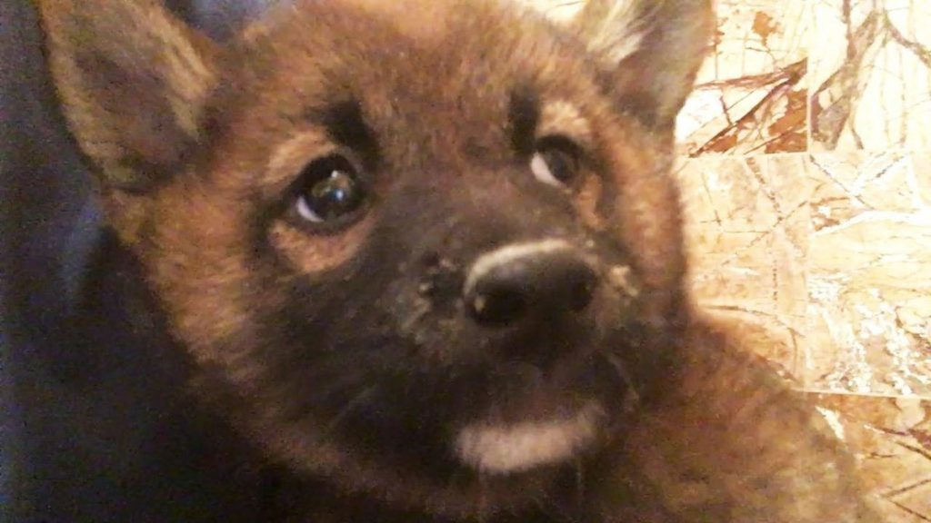 Puppy Dying From Pneumonia Is Rescued From NYC Pet Store During Investigation