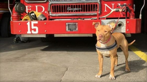 She Was Abandoned In A Crack House, Now She's a NYC Fire Dog!