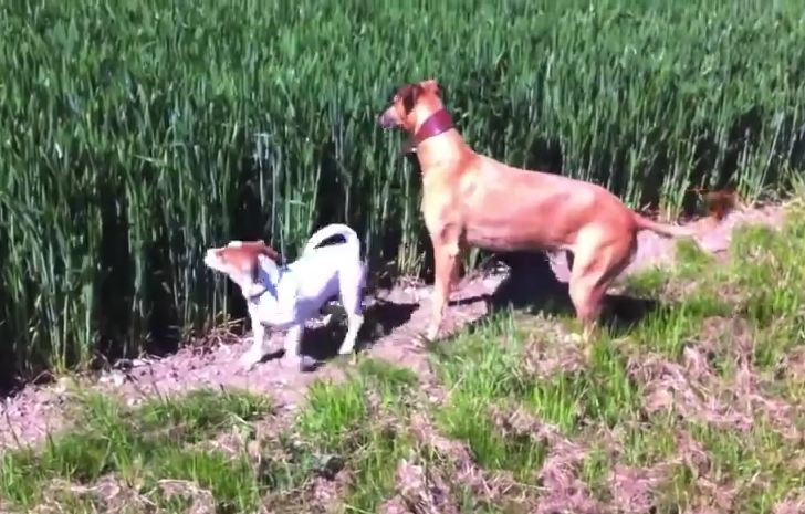 Playful Dogs Get Lost In A Cornfield And Find Their Way Out In The Most Fun Way Ever