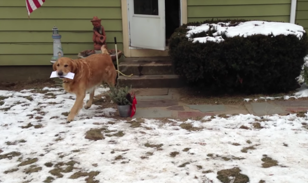 The Best Part Of The Mailman's Day Is This Golden Retriever