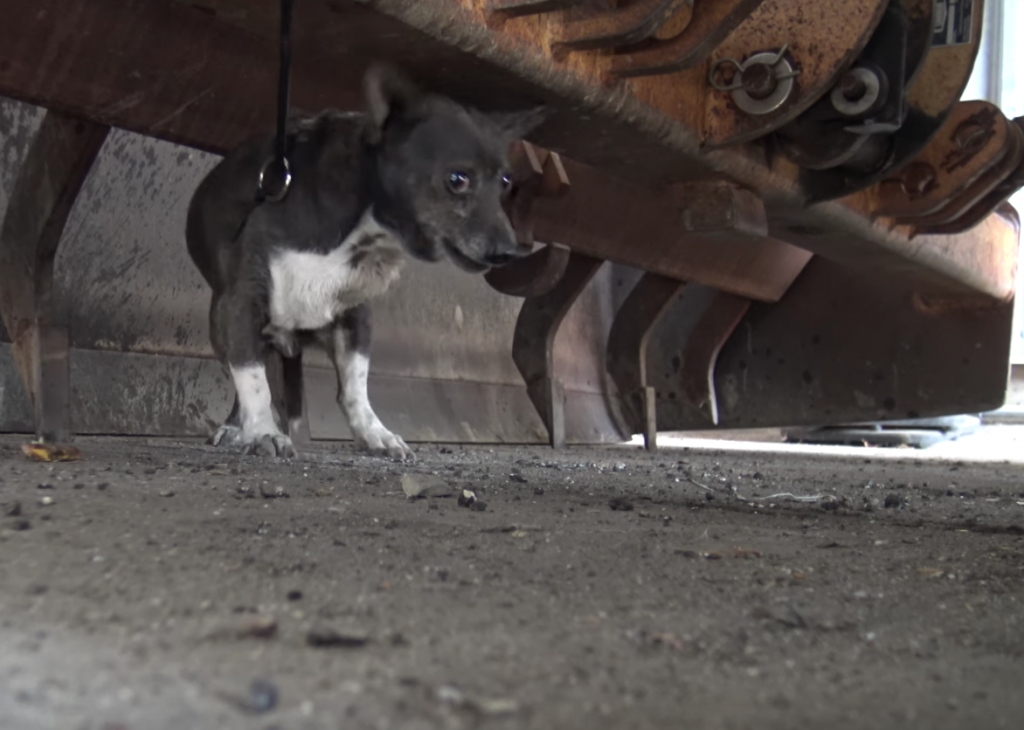 Little Dog Hiding At A Factory Is Scared For His Life, Just Wants To Be Loved