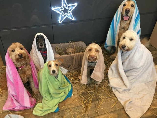 Freshly Groomed Dogs Pose In Their Very Own Version Of The Nativity Scene