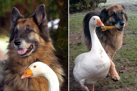 Rescued Goose Becomes Best Friend to Troubled German Shepherd Dog