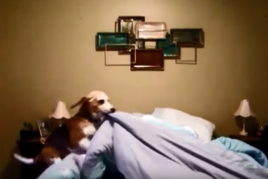 Mom And Dad Post Their Beagle's Hilarious Bedtime Routine For All To See