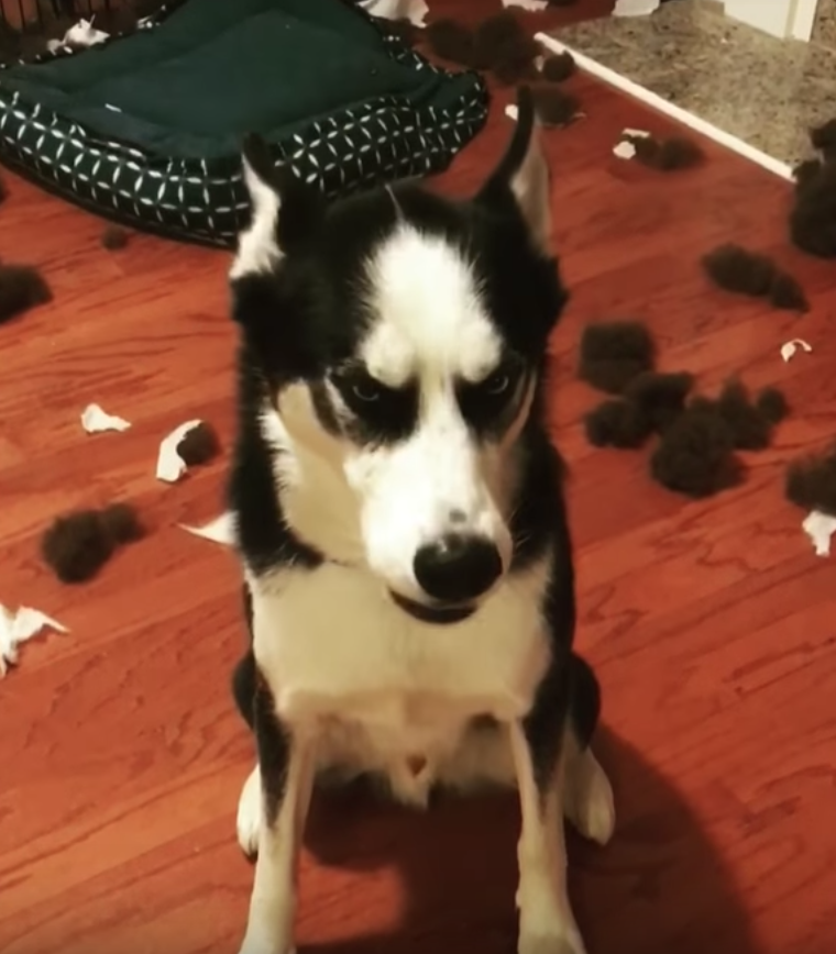 Hilariously Expressive Dog Drowns Out Mom When Confronted About The Mess On The Floor