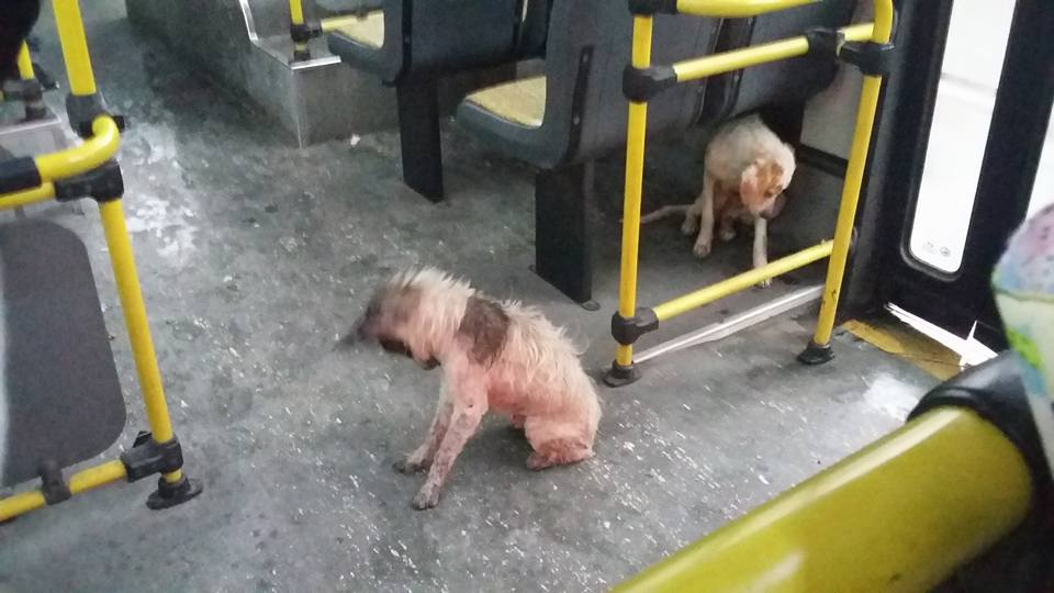 Driver Pulls Over And Allows Two Stray Dogs On His Bus During Heavy Downpour