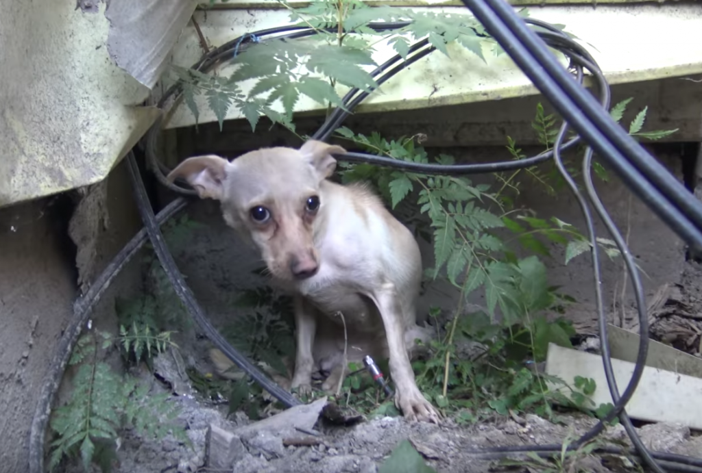 Homeless Chihuahua Was Not Ready For Human Contact, Ends Up Being The Sweetest Dog