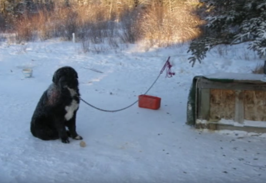 Chained Dog Could Only Take Turns Keeping One Paw Off Of The Cold Ground