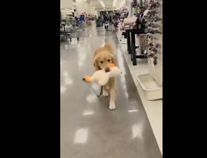 Precious Pooch Won't Let Go Of A Toy He Found At The Store
