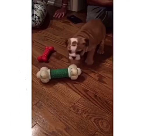 Tiny Bulldog puppy playing with huge bone